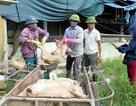 Hỗ trợ khẩn cấp Hà Tĩnh 30.000 liều vắc xin dập dịch tai xanh