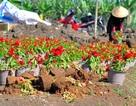 Hàng ngàn chậu hoa Tết bị nhổ bật gốc trong đêm
