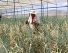 Hoa chết trắng vườn, nông dân lao đao vì thất thu