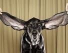 Chú cẩu có đôi tai dài nhất thế giới