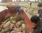 Số lợn chết trôi trên sông Hoàng Phố vọt tăng gần 3.000 con