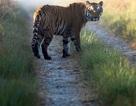 Hổ dữ thoát khỏi rừng quốc gia liên tiếp ăn thịt 10 người