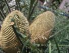 Cây thiên tuế hơn 20 năm tuổi trổ hoa đẹp mắt