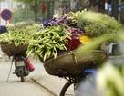Hà Nội: Tháng Tư, mùa hoa loa kèn xuống phố