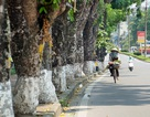 Hà Nội: Ngắm hàng cây cổ thụ bên hồ Thủ Lệ trước ngày di dời