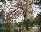 Hà Nội đỏ rực mùa hoa phượng