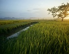 Mùa lúa chín vàng trên đồng ruộng thẳng cánh cò bay ở Hà Nội