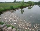Cá sắp thu hoạch chết trắng ao nghi bị đầu độc bằng thuốc trừ sâu