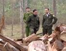 """Thành lập đoàn kiểm tra sự việc dân ồ ạt kéo nhau vào rừng """"""""săn"""" gỗ Pơmu"""