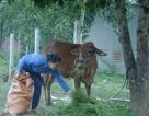 Phú Yên: Bùng phát dịch lở mồm long móng trên đàn bò