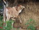 Bình Định: Xuất hiện trâu, bò chết do lở mồm long móng