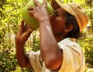 """Bình Định: Nắng gắt, giá dừa trái đắt gấp 3 lần vẫn """"cháy"""" hàng"""