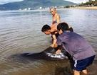Cứu cá heo dài 2m mắc cạn biển Quy Nhơn