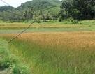 """Bình Định: Hết thuốc trừ sâu rởm đến giống lúa """"đểu"""" tung hoành thị trường"""