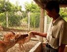 Bình Định: Ông nông dân thu tiền tỉ mỗi năm nhờ trồng rừng và nuôi hươu, nai