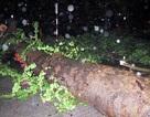 Nhiều cây xanh ở TP Quy Nhơn bật gốc sau trận mưa lớn, lốc xoáy