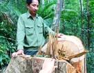 Bình Định: Xem xét khởi tố vụ lâm tặc triệt hạ rừng ngay sát tỉnh lộ