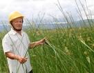 """Lão nông """"ném"""" nửa tỉ đồng biến đất phèn thành cánh đồng cói"""