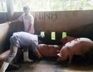Cơ quan chức năng cho phép giết mổ và bán lợn bệnh?