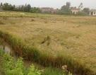 Mưa lớn kèm lốc xoáy khiến hàng ngàn ha lúa bị thiệt hại nặng