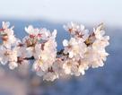 Mùa hoa sakura nở