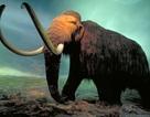 Đang nạo cống, bất ngờ tìm thấy… xác voi mamut