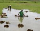 """Nông dân """"méo mặt"""" vì hàng ngàn ha lúa đổ rạp, ngập úng"""