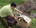 Bắt giữ một lượng lớn gia cầm và trứng gà không rõ nguồn gốc