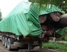 Bắt đoàn xe chở gỗ vượt hơn 300% tải trọng