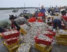 Ngư dân được mùa cá mòi
