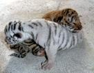 Ngắm những chú hổ gốc Nam Phi mới chào đời tại Nghệ An