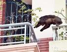 Hà Nội: Chưa xác định được nguồn gốc con khỉ gây náo loạn khu dân cư