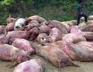 Thực hư chuyện bán lợn chết tím tái ở Cao Bằng