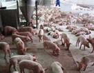 Tiêu hủy 80 con heo gắn mác VietGap ăn chất cấm salbutamol