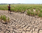 Thiệt hại hơn 5.500 tỷ đồng do hạn hán, xâm nhập mặn