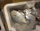 Hà Nội: Phát hiện 4 tấn cá ướp lạnh bốc mùi hôi thối
