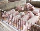 Chất tạo nạc Salbultamol trong chăn nuôi giảm mạnh