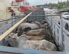 Nguy cơ dịch bệnh từ việc nhập trâu bò sống về giết mổ