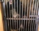 Giải cứu 2 cá thể gấu ngựa bị nuôi nhốt cuối cùng tại An Giang