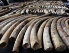 Sẽ tiêu hủy 2 tấn ngà voi, 70kg sừng tê giác tại Hà Nội