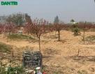 Làng đào nghĩa địa độc nhất Hà Nội