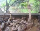 Mục sở thị cảnh bắt, giết rắn hổ mang ở Lệ Mật
