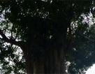 Chuyện về 3 cây cổ thụ trên 300 tuổi trong khu lưu niệm Đại thi hào Nguyễn Du