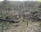 Để mất rừng diện tích lớn, 20 kiểm lâm bị… khiển trách, cảnh cáo!