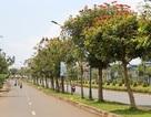 Sẽ thay thế 1.600 cây độc trên quốc lộ 14