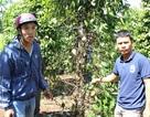 Vườn tiêu bị phun thuốc diệt cỏ phá hoại thiệt hại hàng trăm triệu đồng