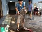 """Hơn 2 giờ vật lộn bắt cá lăng """"khủng"""" dài 1,7m nặng 43kg"""