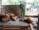 Dân hoang mang vì bò chết hàng loạt