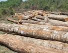 Kỷ luật 4 cán bộ kiểm lâm liên quan vụ cất giấu gỗ lậu