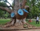 Cưa 3 nhánh lớn của cây di sản để tránh lây lan bệnh